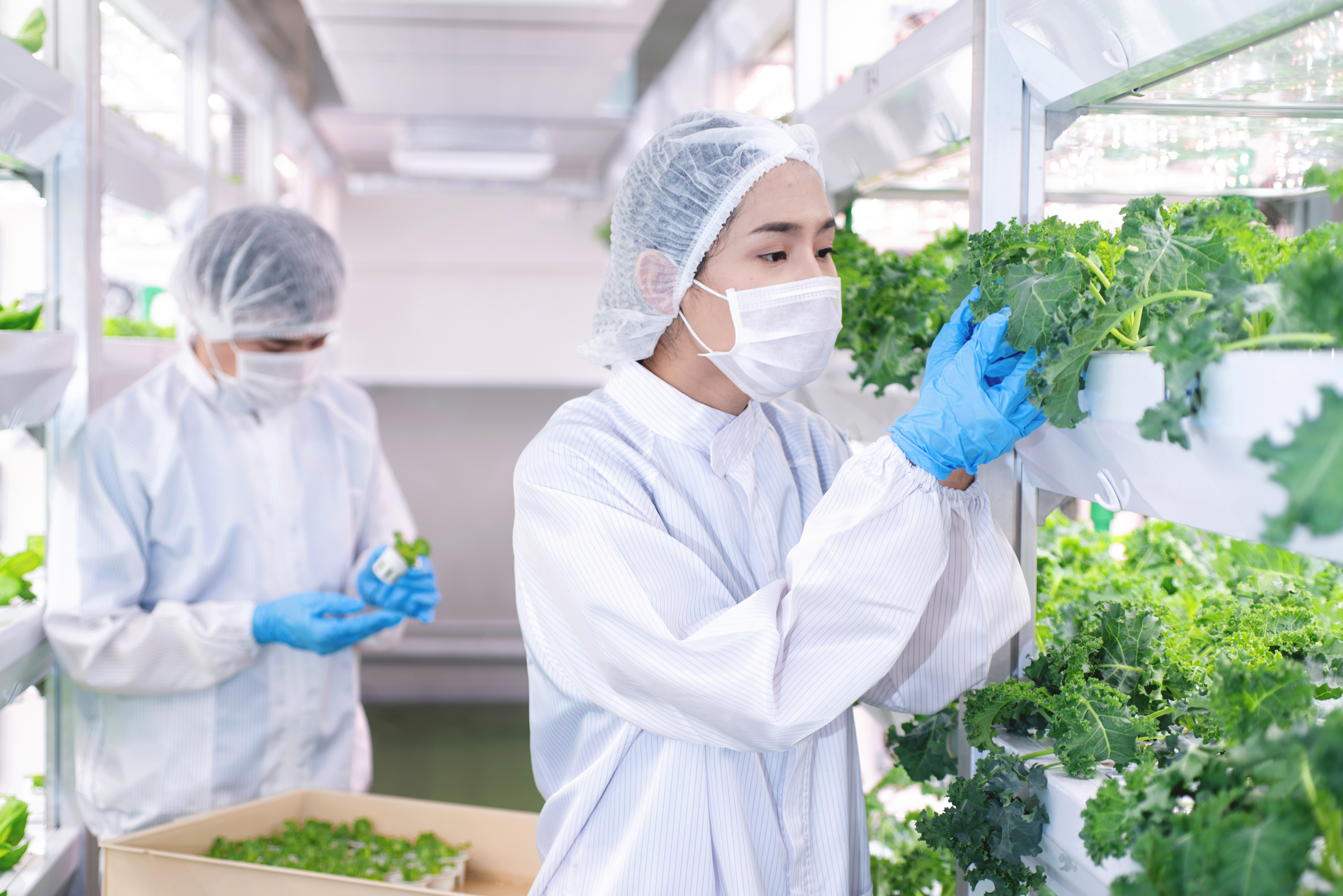 Asian biotechnologist checking vegetables in LED light farm, hydroponic vegetable grow with LED light indoor farm, hydroponics close system, agriculture technology